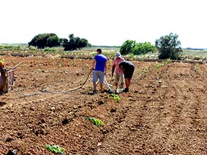 Plantación y riego de melocotoneros