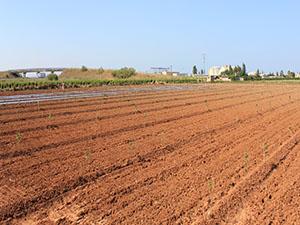 Campo recién plantado de melocotones