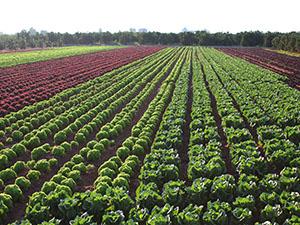 Verduras combinadas en campo