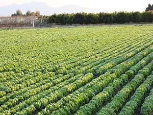 Verduras en campo