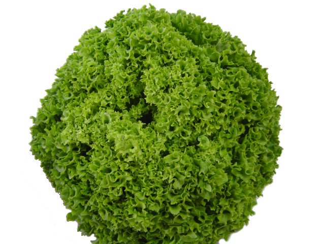 Lechuga Lolo Verde | Cohoca | Cooperativa de Benifaió