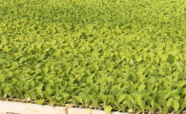 Plantas en invernadero, detalle